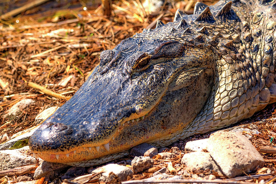 Happy Gator by Kevin Banker