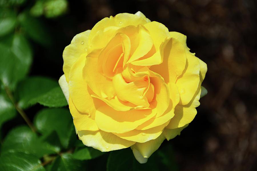 Happy Go Lucky Rose by Jennifer Wick