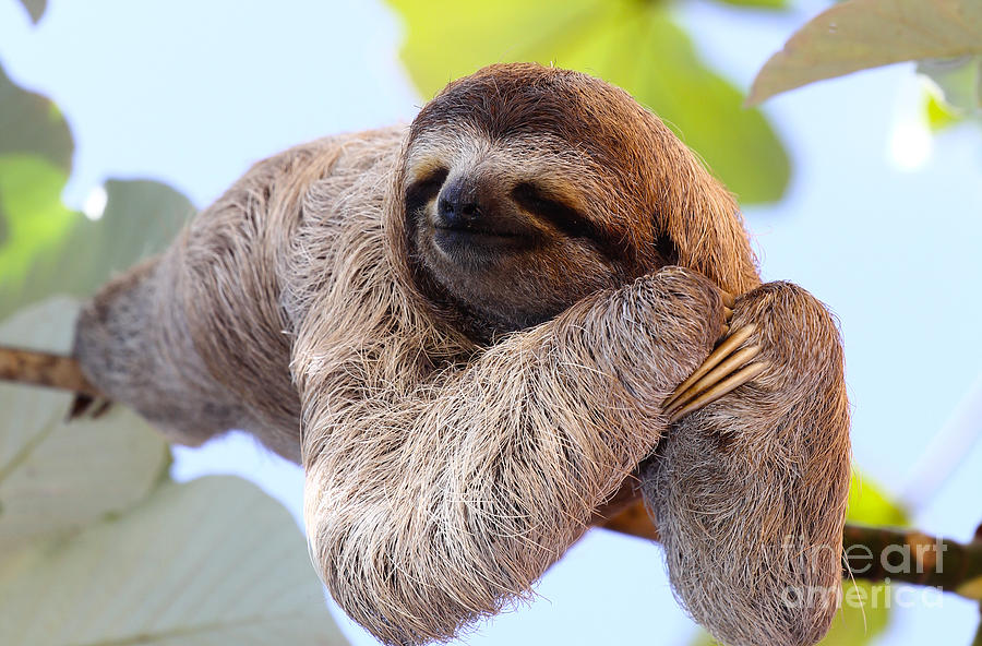 Offspring Photograph - Happy Sloth Hanging On The Tree by Janossy Gergely