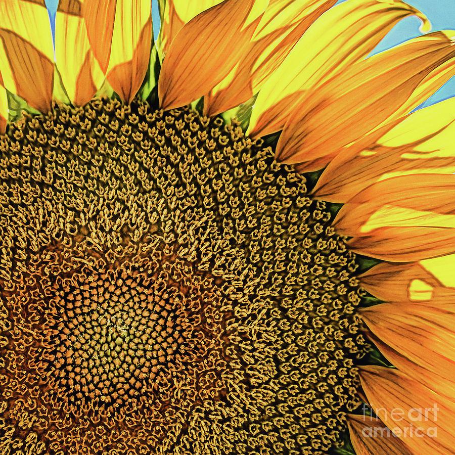 Happy Sunflower Photograph