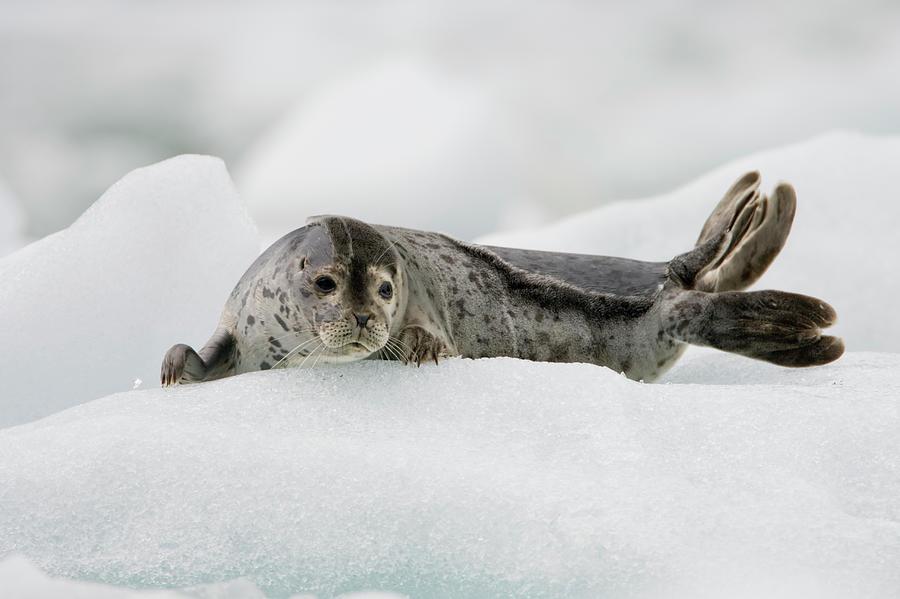 Harbor Seal On Iceberg, Alaska Photograph by Paul Souders