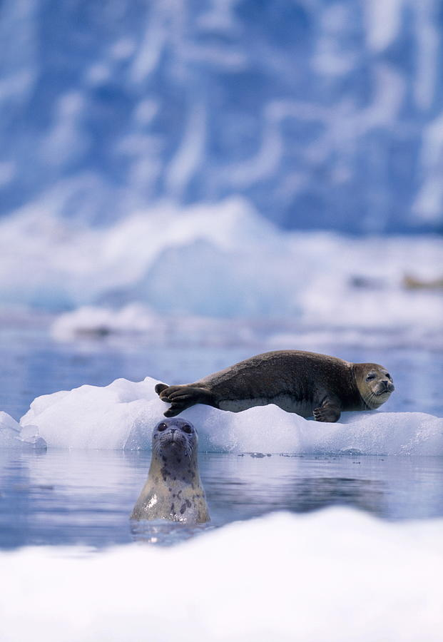 Harbor Seal Phoca Vitulina In Glacial Photograph by Paul Souders