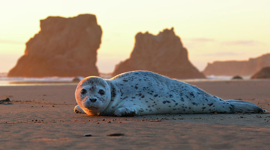 Harbor Seal Pup At Sunset Photograph by Jeremy Cram Photography