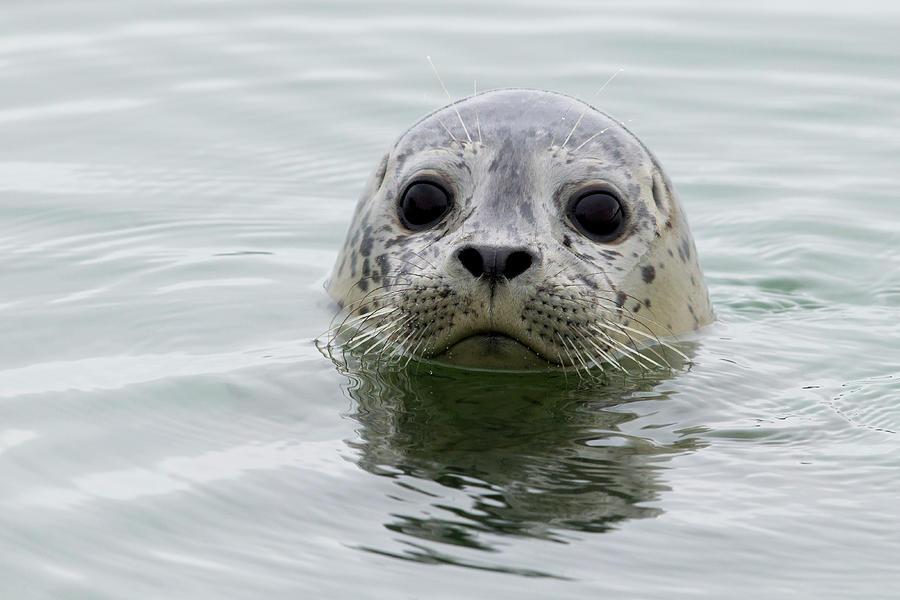 Harbor Seal Pup In Elkhorn Slough Photograph by Sebastian Kennerknecht