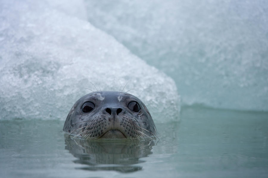 Harbor Seal, South Sawyer Glacier Photograph by Paul Souders