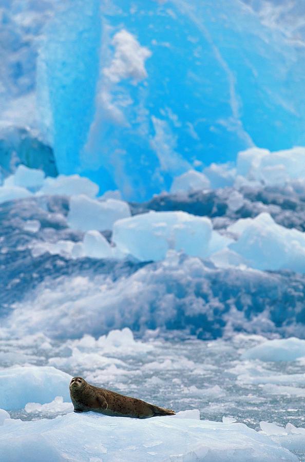 Harbour Seal Phoca Vitulina On Iceberg Photograph by Art Wolfe