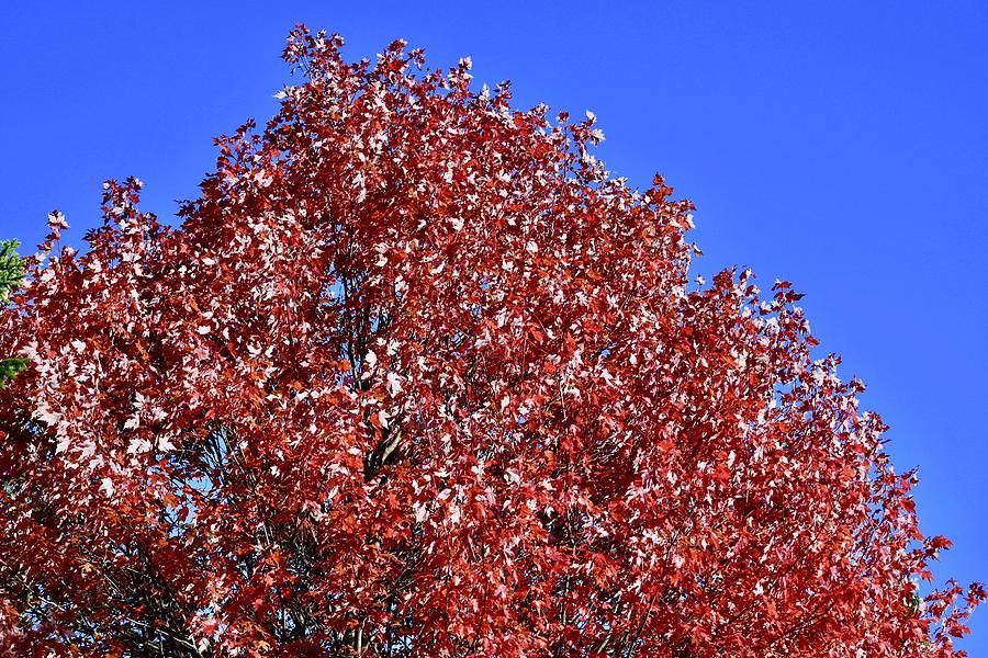 Hardiest Maple Tree by Hella Buchheim