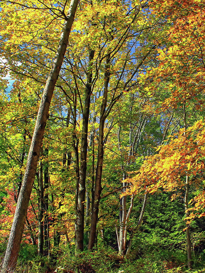 Hardwood Forest In Autumn Photograph