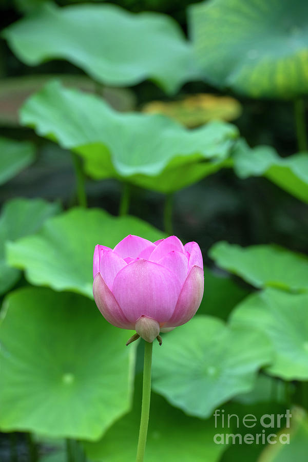 Hardy Sacred Lotus Flower Opening by Tim Gainey