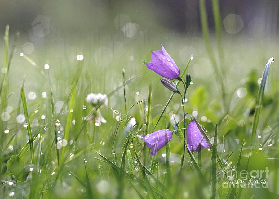 Harebells and Water Drops by Morag Bates