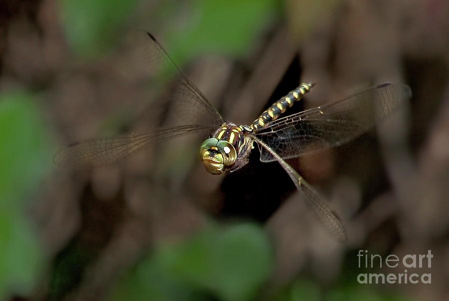 harlequin darner dragonfly gomphaeschna furcillata wil by Dave Welling