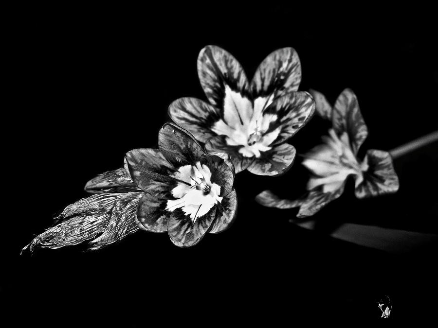 Harlequin Flowers B and W by Joyce Dickens
