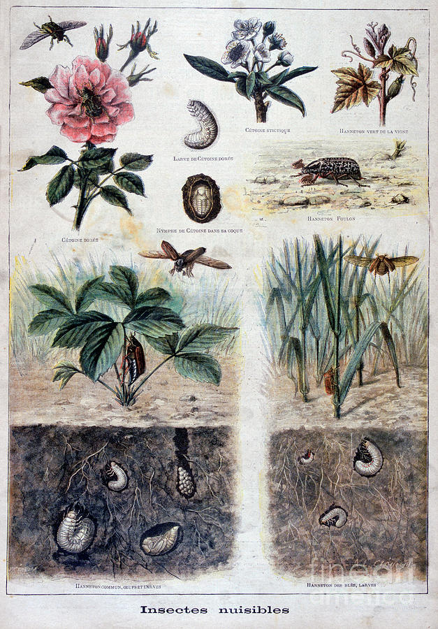 Harmful Insects, 1897. Artist F Meaulle Drawing by Print Collector