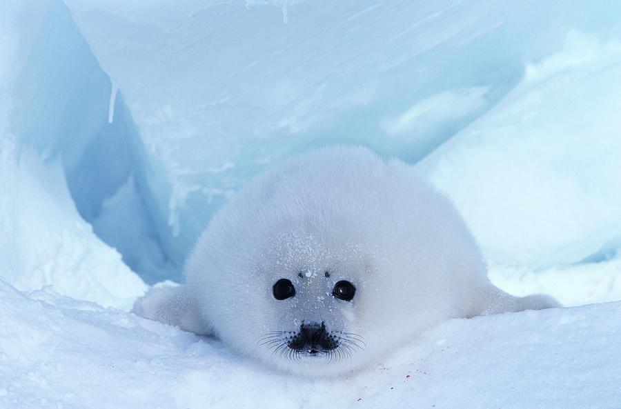Harp Seal Phoca Groenlandica Photograph by Art Wolfe
