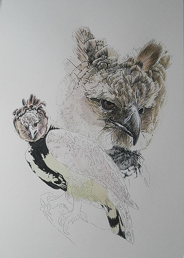 2019 Harpy Eagle day 4 by Barbara Keith
