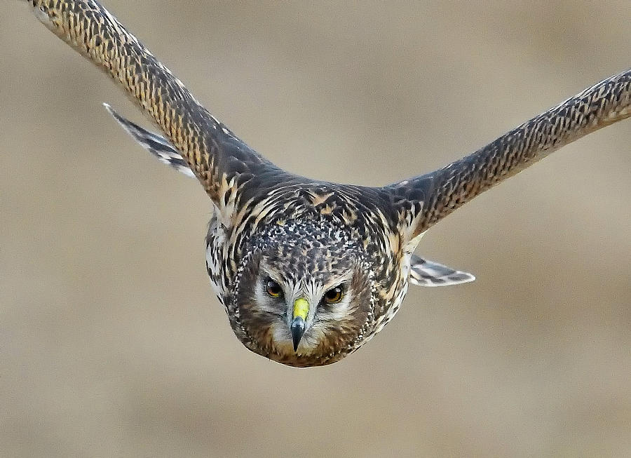 Harrier Eye-to-Eye by William Jobes
