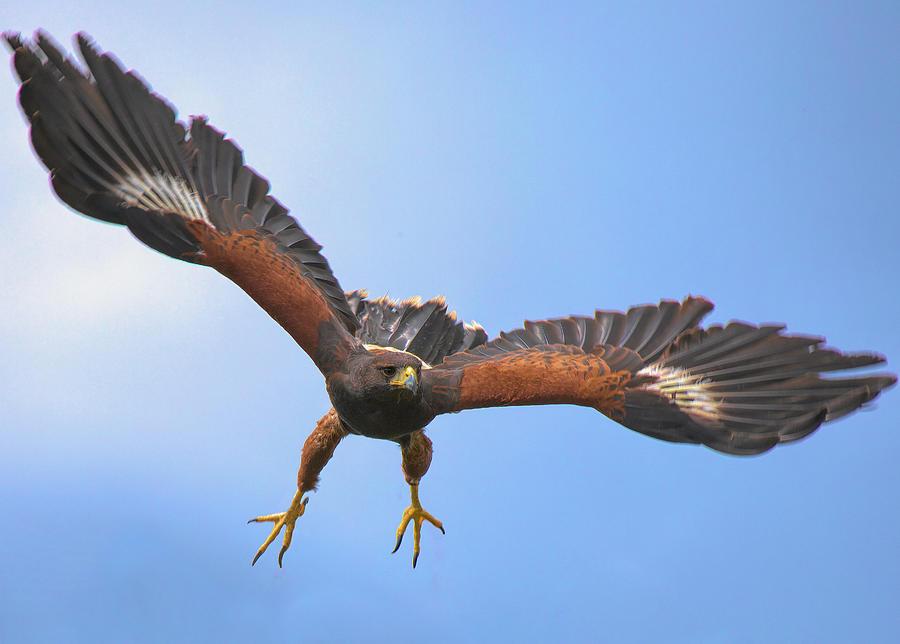 Harris Hawk by James Kenning