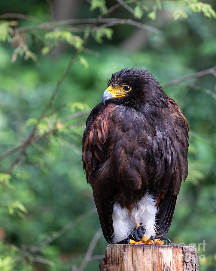 Harris's Hawk by Alma Danison
