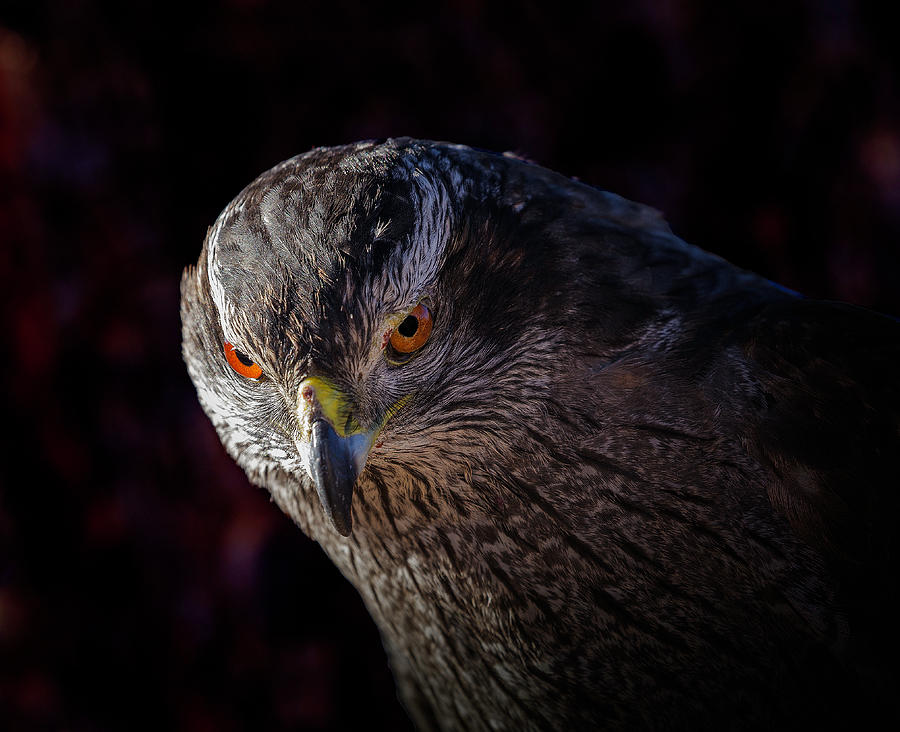 Harris's Hawk Portrait by Lowell Monke