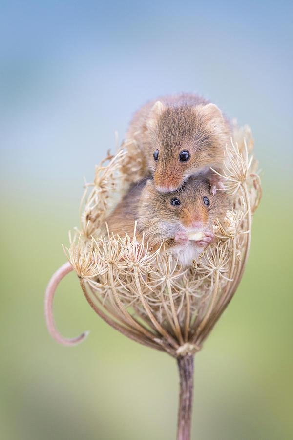 Harvest Mice by Erika Valkovicova