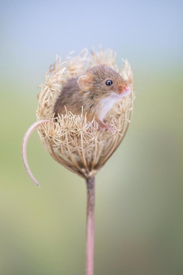 Harvest Mouse by Erika Valkovicova