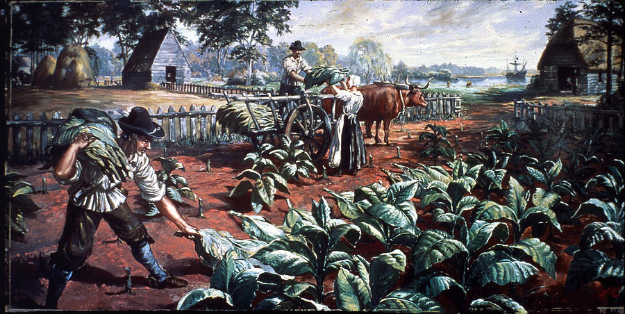 Harvesting Tobacco In Early Virginia Photograph by Hulton Archive