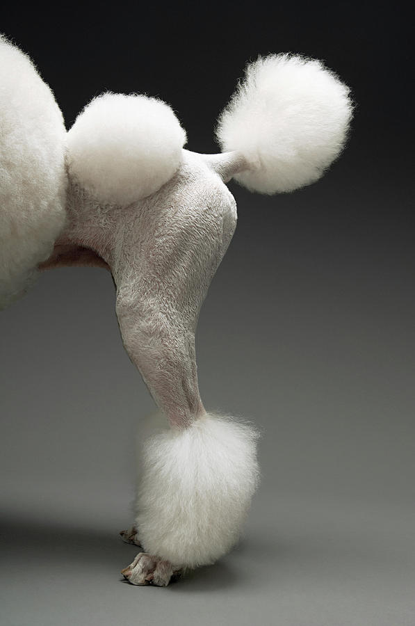 Haunches Of Poodle, On Grey Background Photograph by Moodboard