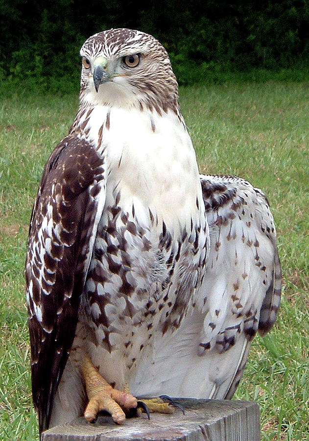 Hawk in Poise  by Belinda Landtroop