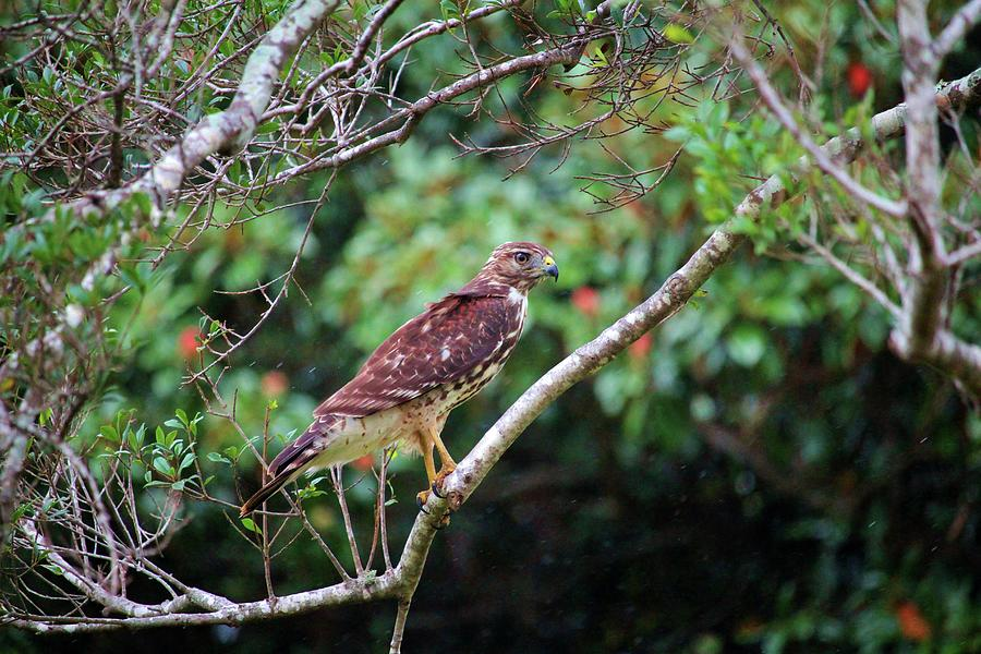 Hawk In The Rain by Cynthia Guinn