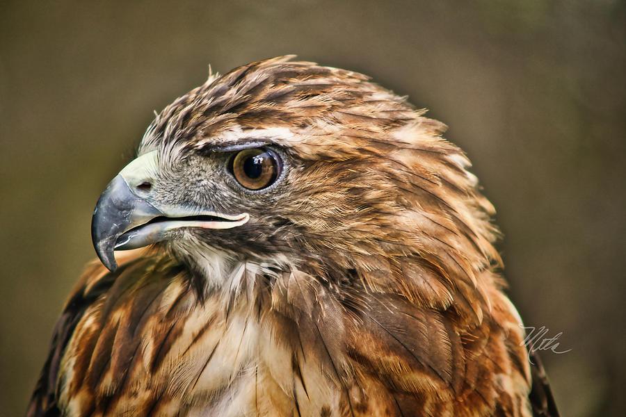Red-Tailed Hawk by Meta Gatschenberger