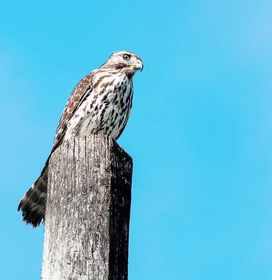 Red Shouldered Hawk Photograph - Hawk On A Post by Norman Johnson