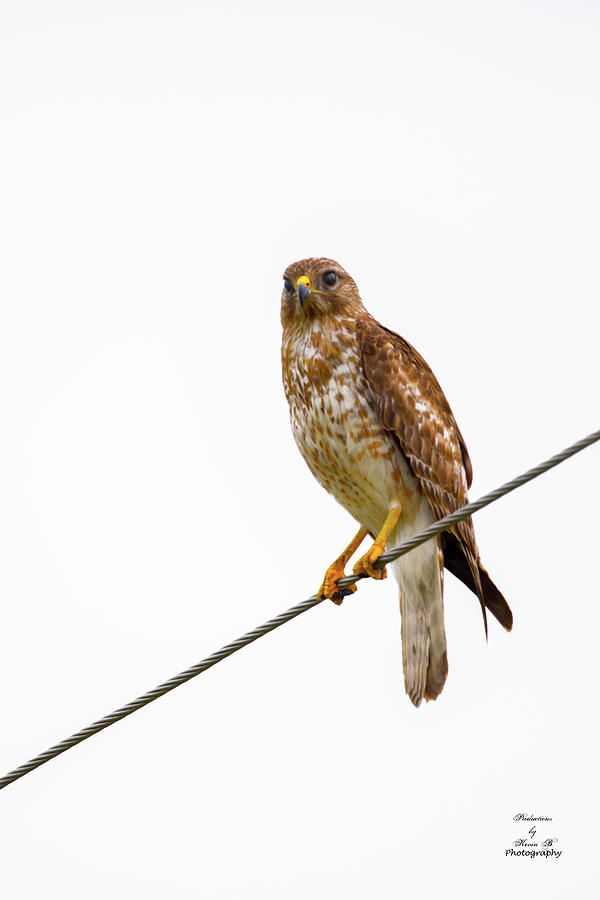 Hawk on a Wire by Kevin Banker