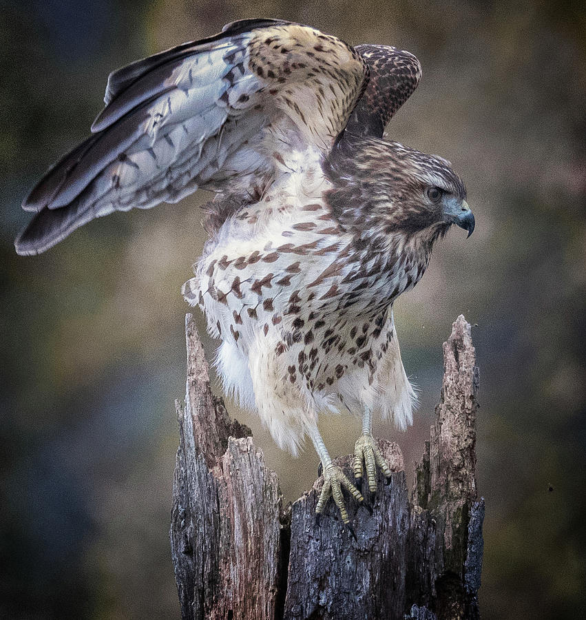 Hawk  by Richard Kopchock