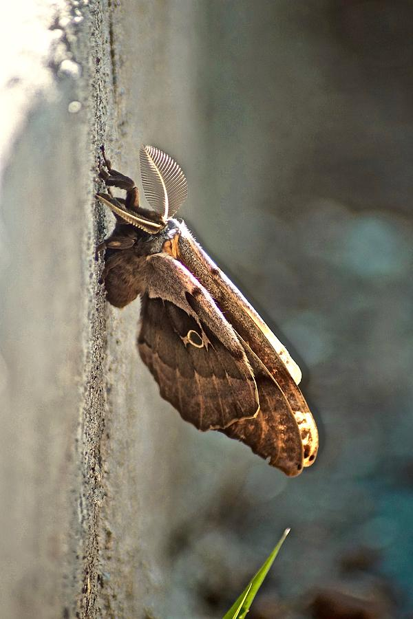 hawkmoth2 by Gillis Cone