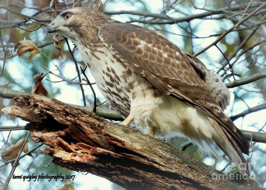 Hawk's Autumn Watch by Tami Quigley