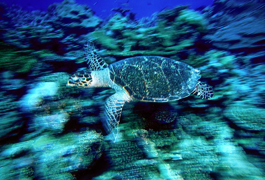 Asia Photograph - Hawksbill Sea Turtle, Maldives by Stuart Westmorland
