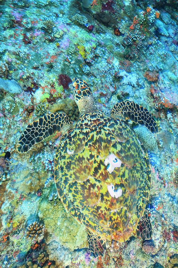 Asia Photograph - Hawksbill Sea Turtle, North Huvadhoo by Stuart Westmorland