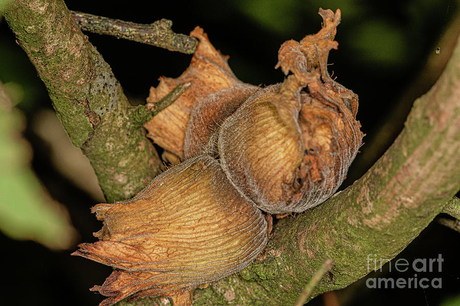Hazel Nuts Photograph