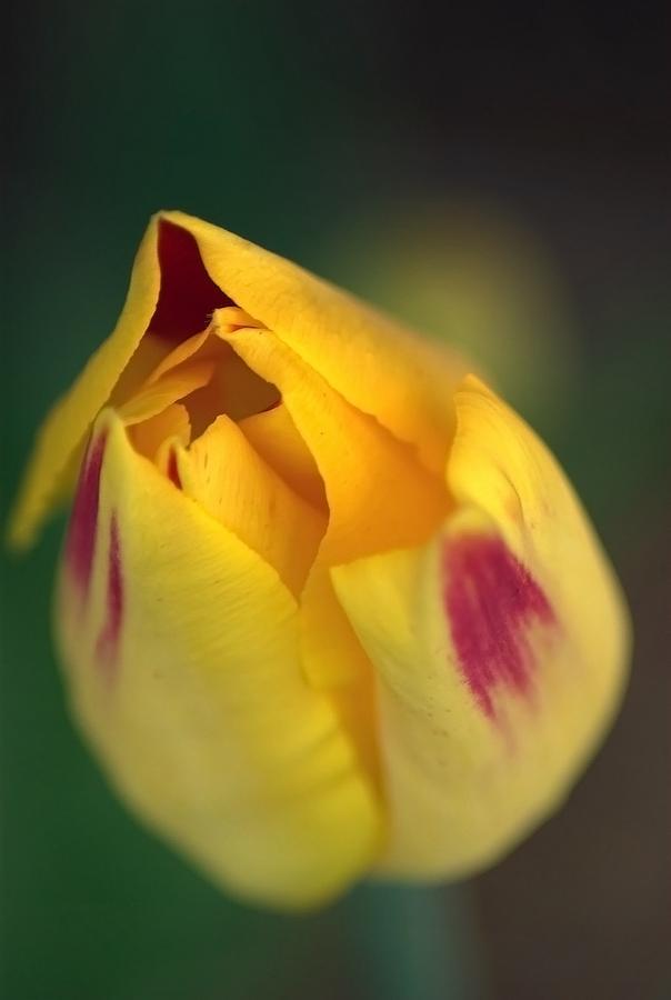 Hazy Yellow Rose by Joy of Life Arts