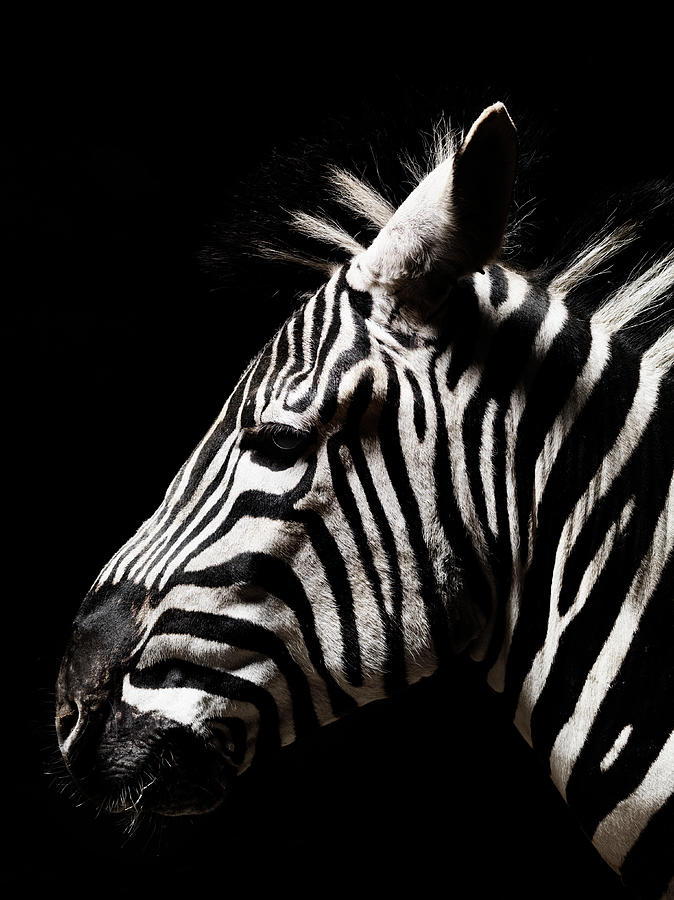 Head Of A Zebra Photograph by Henrik Sorensen