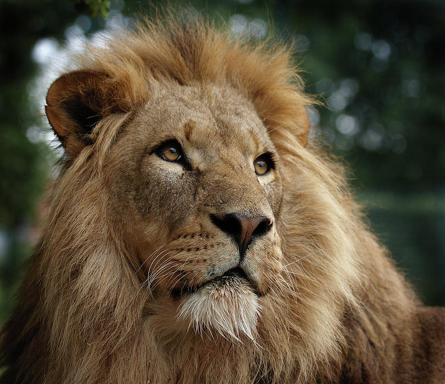 Head Shot Of Male African Lion Photograph by Luke Robinson