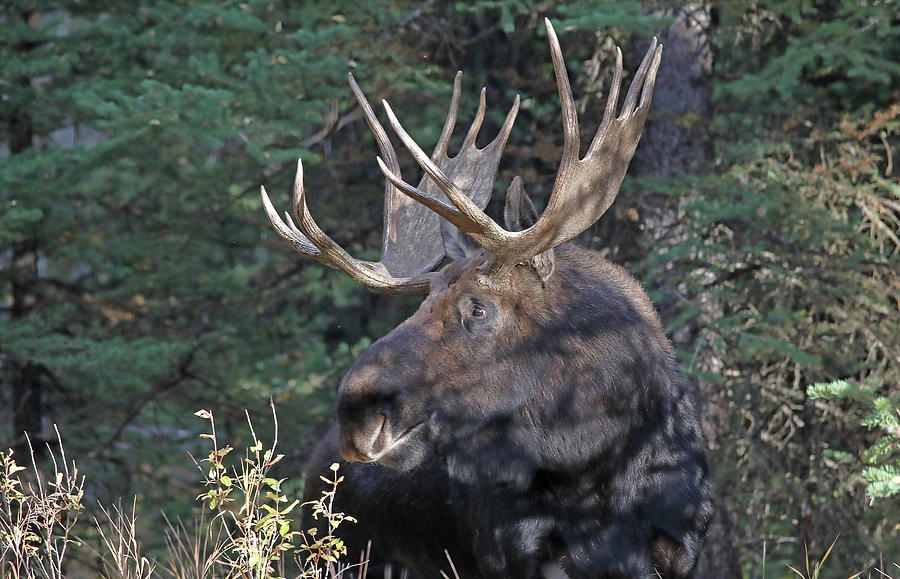 Head Study of Bull Moose by Jean Clark