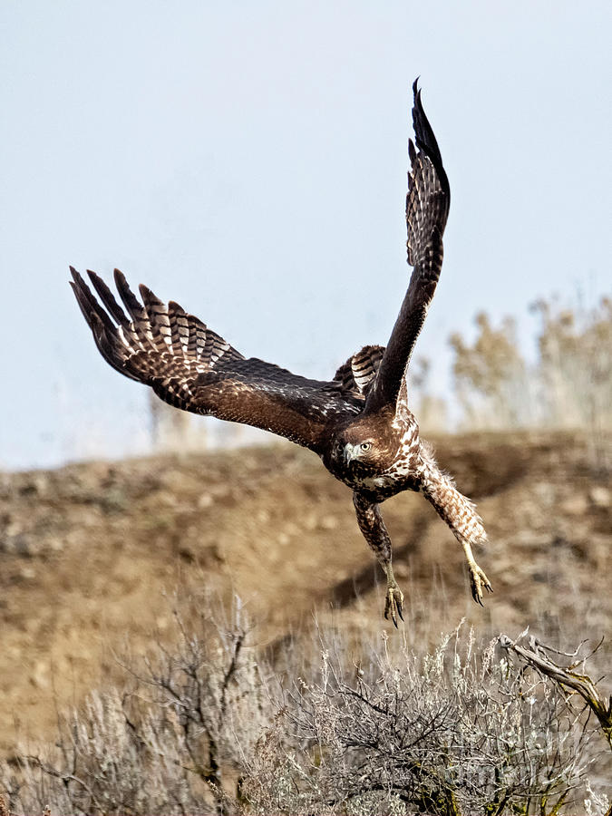 Red Tail Hawk Photograph - Headed For You by Mike Dawson