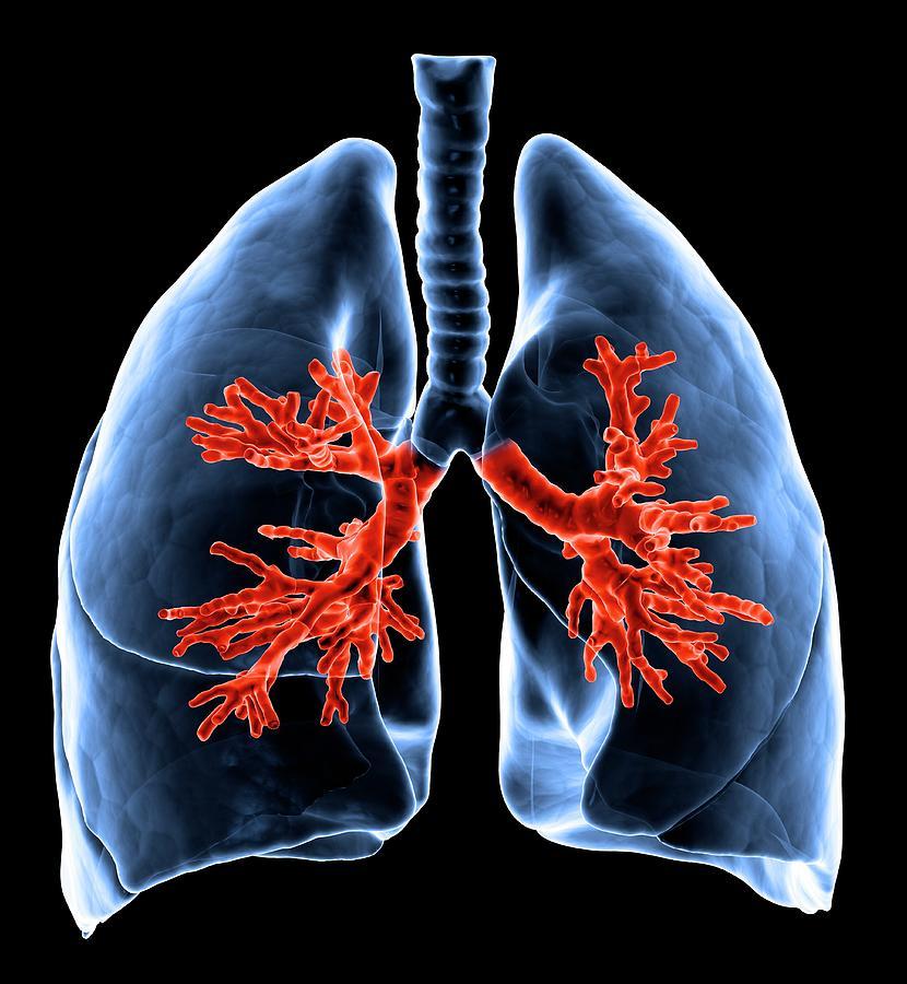 Healthy Lungs, Artwork Digital Art by Science Photo Library - Andrzej Wojcicki