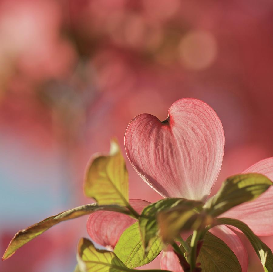 Heart Bloom Photograph by Pamela Long