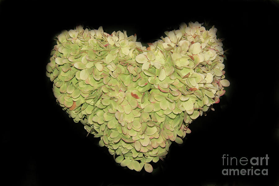 Heart Shaped Hydrangea by Karen Silvestri