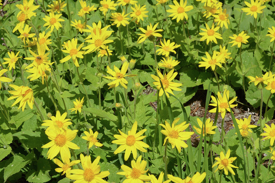 Heartleaf Arnica or Arnica cordifolia by Whispering Peaks Photography