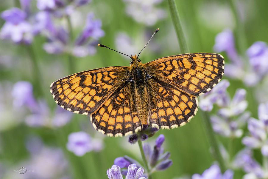 Heath fritillary on the lavender by Torbjorn Swenelius