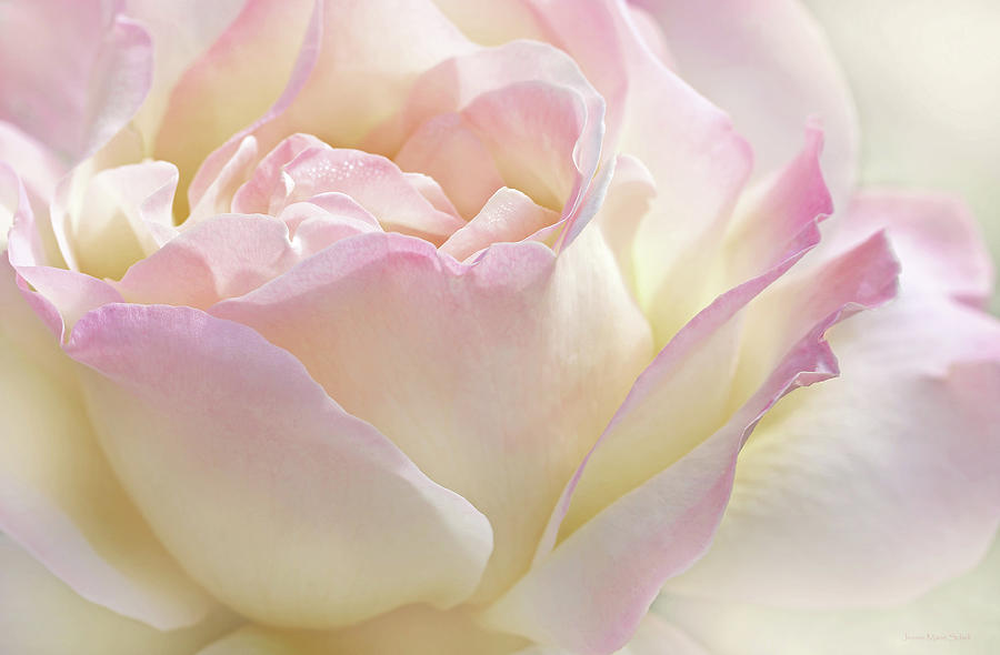 Heavens Pink Rose Flower Photograph