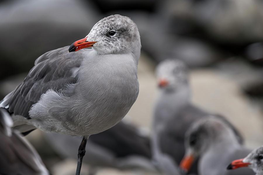 Heermann's Gull Flock by Robert Potts